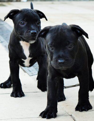cuccioli staffy
